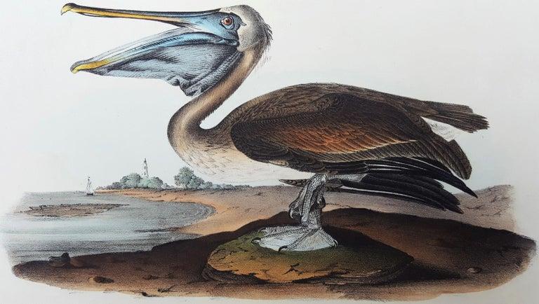John James Audubon Animal Print - Brown Pelican