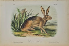 """Californian Hare"", an Original Audubon Hand Colored Quadruped Lithograph"