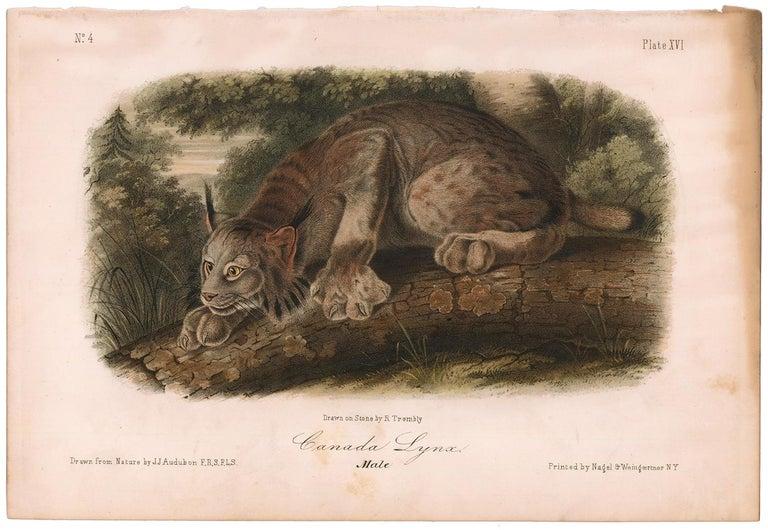 Canada Lynx  by Audubon - Print by John James Audubon