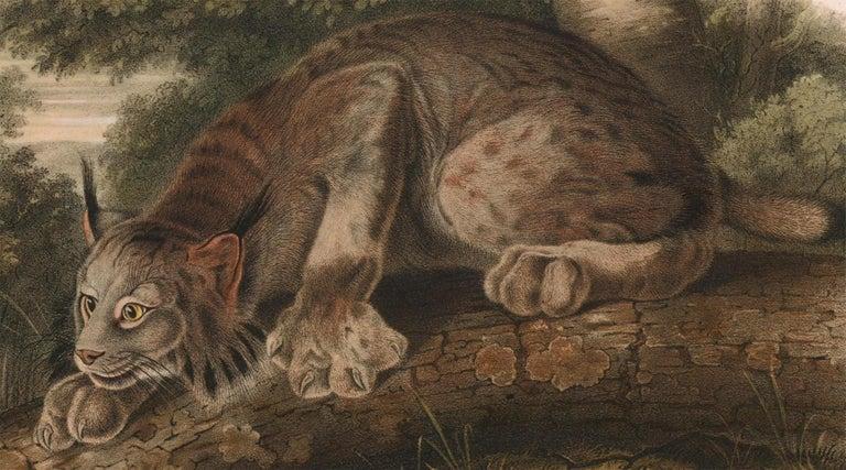 Canada Lynx  by Audubon - Brown Animal Print by John James Audubon