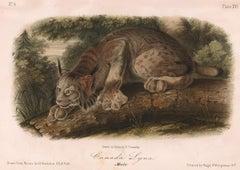 Canada Lynx  by Audubon