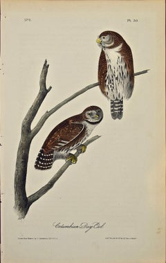 """Columbian Day-Owl"", an Original First Edition Audubon Hand Colored Lithograph"