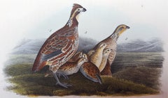 Common American Partridge