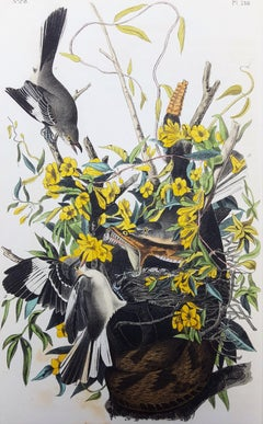 Common Mocking Bird