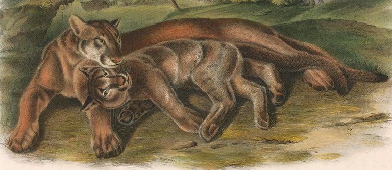 Cougar by Audubon - Brown Animal Print by John James Audubon