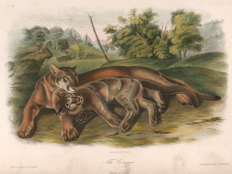John James Audubon Animal Print - Cougar by Audubon