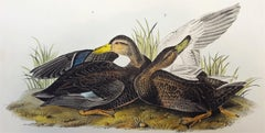 Duskey Duck