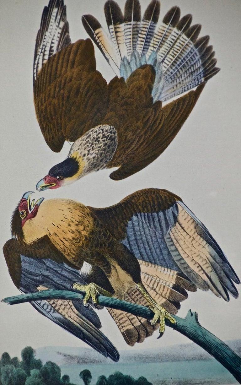 Framed Original Audubon Hand-Colored Bird Lithograph of Caracara Eagles - Naturalistic Print by John James Audubon