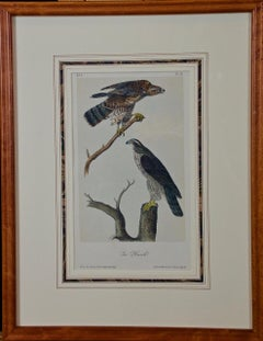 Framed Original Audubon Hand Colored Bird Lithograph of Gos Hawks