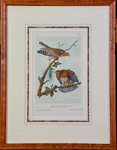 Framed Original Audubon Hand Colored Bird Lithograph of Red Shouldered Buzzards