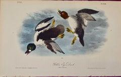 """""""Golden Eye Duck"""", an Original First Edition Audubon Hand Colored Lithograph"""