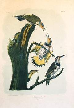 Golden Winged Woodpecker by J.J. Audubon Bien Edition 1860