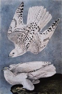 Iceland or Gyr Falcon