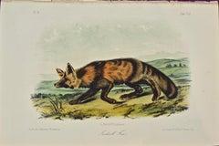 """Jackall Fox"" an Original Audubon Hand Colored Quadruped Lithograph"