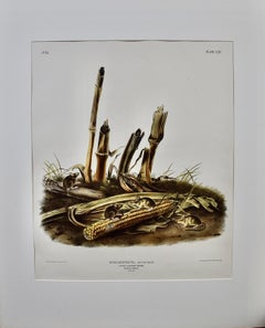 """Little Harvest Mouse"", an Original Audubon Folio Sized Hand Colored Lithograph"