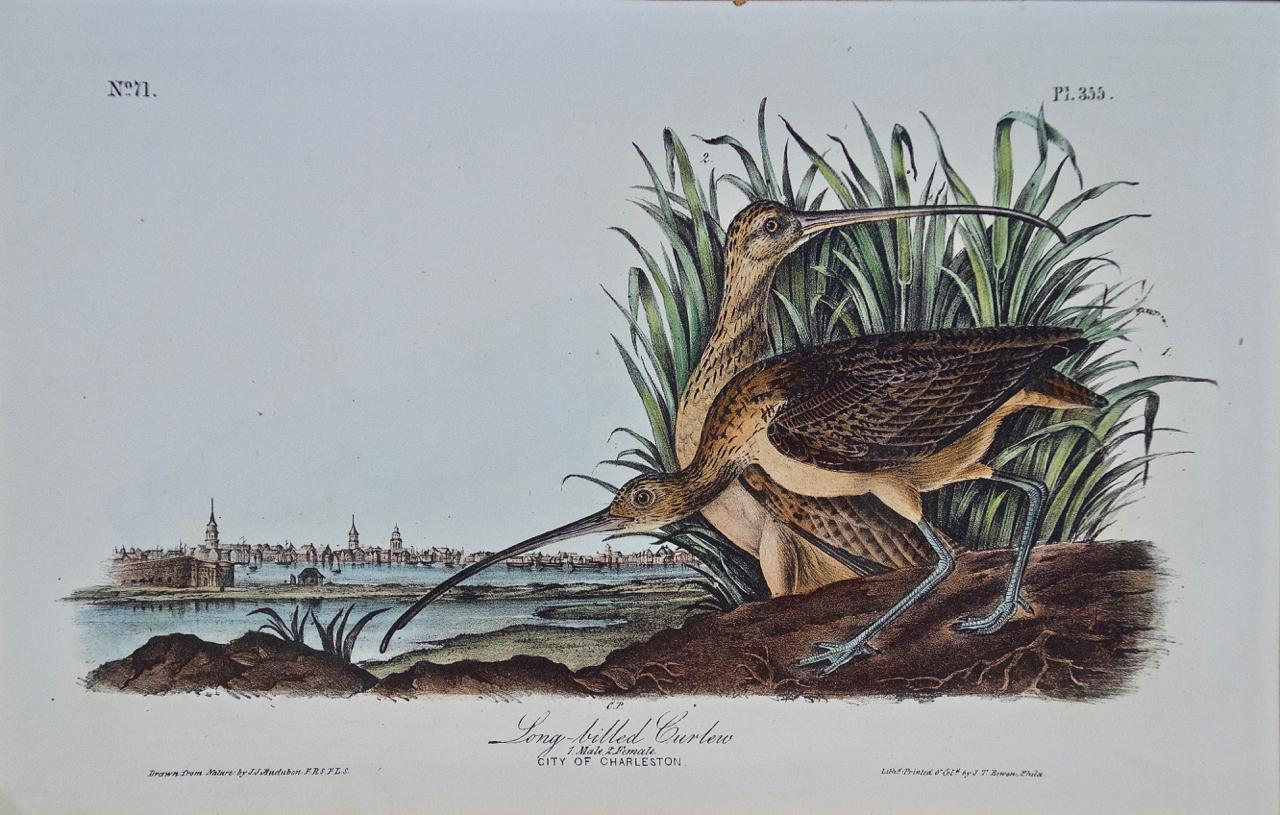 """""""Long-billed Curlew"""", an Original First Edition Audubon Hand Colored Lithograph"""