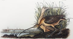 Long-billed Curlew (City of Charleston)