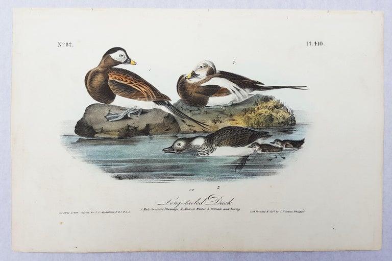 Long-tailed Duck - Victorian Print by John James Audubon