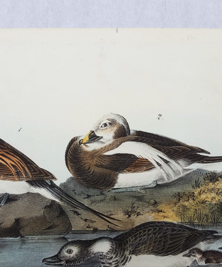 Long-tailed Duck 3