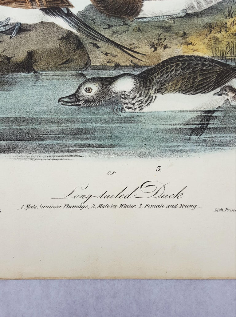 Long-tailed Duck 4