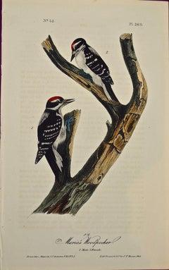"""Maria's Woodpecker"", an Original First Edition Audubon Hand Colored Lithograph"