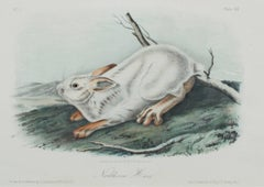 """Northern Hare,"" original color lithograph by John James Audubon"