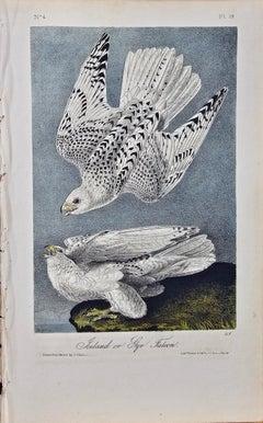 "Original Audubon Hand Colored Bird Lithograph of ""Iceland or Gyr Falcon"""