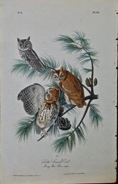 "Original Audubon Hand Colored Bird Lithograph of ""Little Screech Owl"""