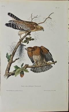 "Original Audubon Hand Colored Bird Lithograph of ""Red-shouldered Buzzard"" (Hawk)"