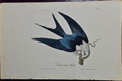"Original Audubon Hand Colored Bird Lithograph of ""Swallow-tailed Hawk"""