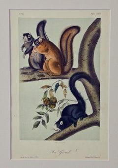 "Original Audubon Hand Colored Lithograph of a ""Fox Squirrel"""