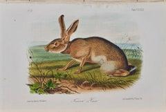 "Original Audubon Hand Colored Lithograph of ""Texan Hare"""