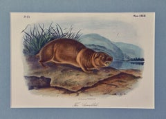 """Original Audubon Hand Colored Lithograph of """"The Sewellel"""""""