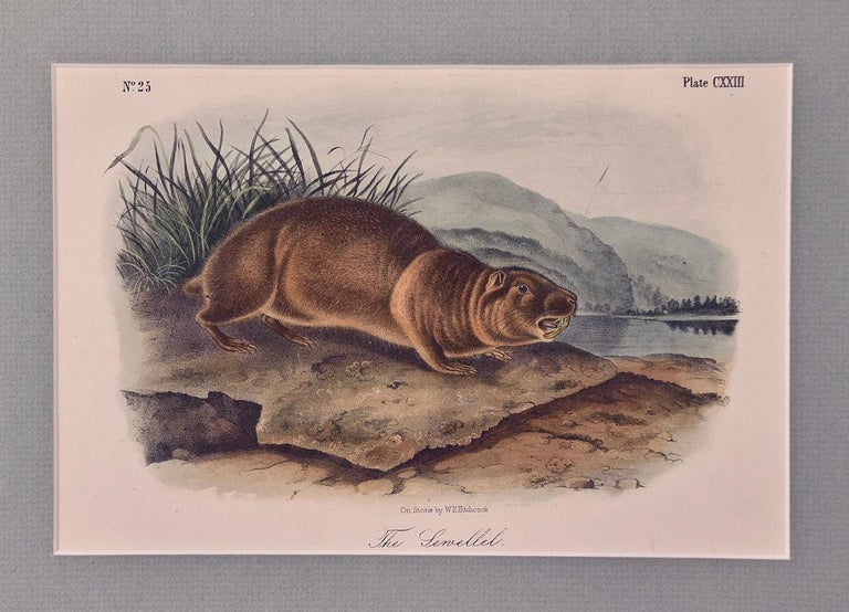"John James Audubon Animal Print - Original Audubon Hand Colored Lithograph of ""The Sewellel"""
