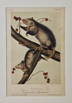 "Original Audubon Hand Colored Lithograph of ""Virginian Opossum"""