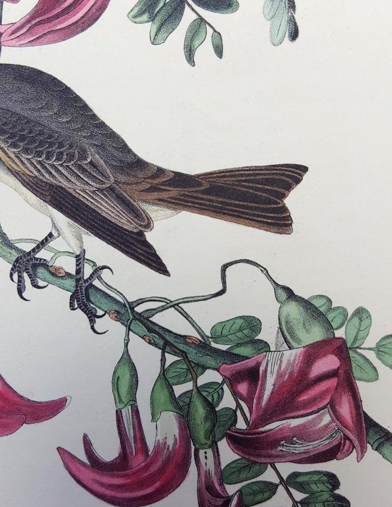 Pipiry Flycatcher For Sale 10