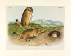Prairie Dog - Prairie Marmot Squirrel