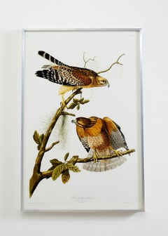 Red-Shouldered Hawk Plate #56 Havell Oppenheimer Edition
