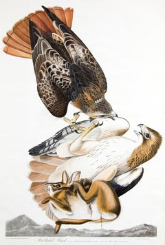 Red Tailed Hawk, Plate 51: The Birds of America (Havell, Double Elephant Folio)