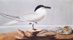Sandwich Tern (with Florida Cray Fish) (Florida Keys)