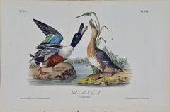 """""""Shoveller Duck"""", an Original First Edition Audubon Hand Colored Lithograph"""
