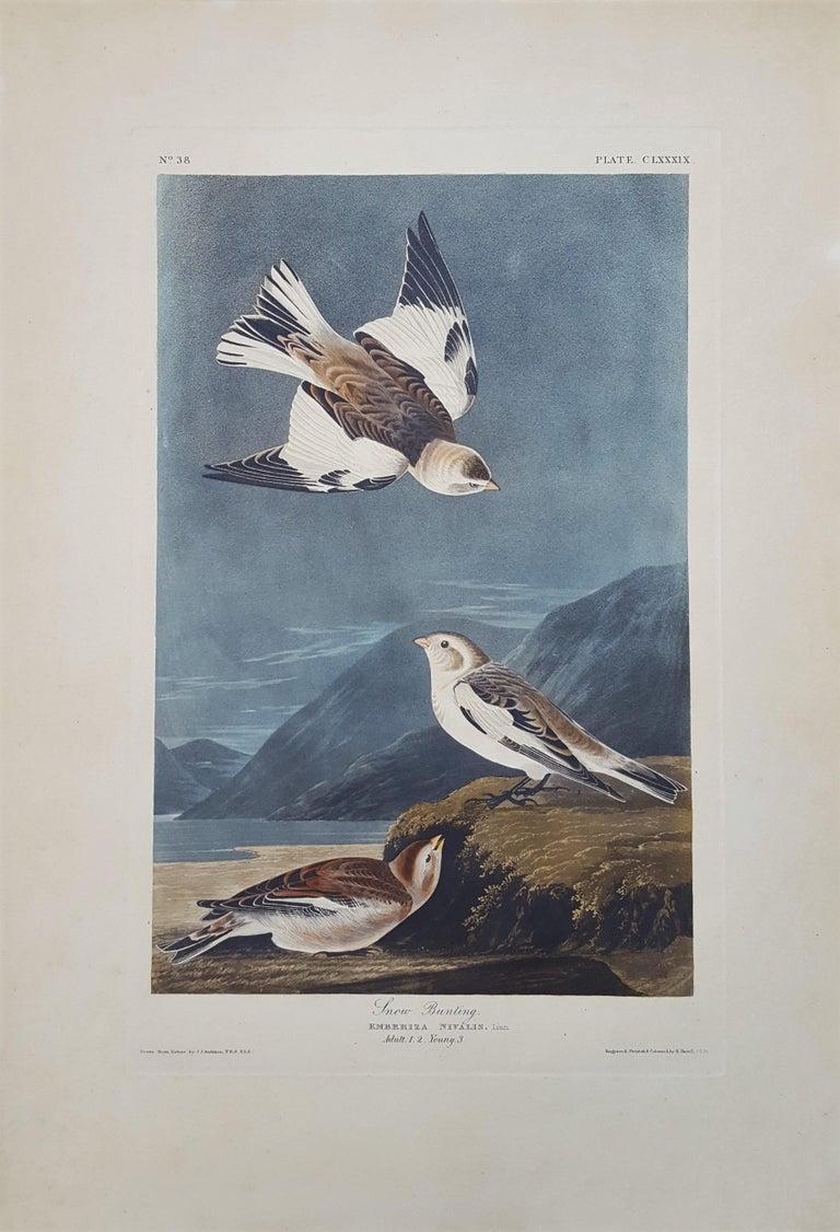 Snow Bunting - Print by John James Audubon
