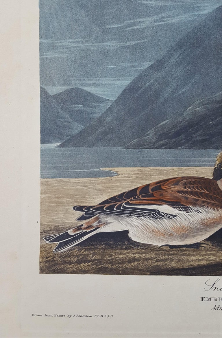 Snow Bunting For Sale 3
