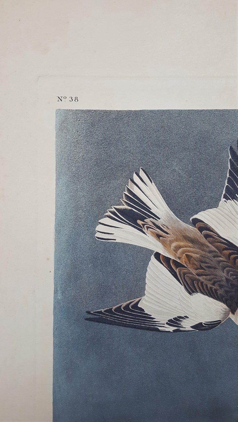 Snow Bunting For Sale 4