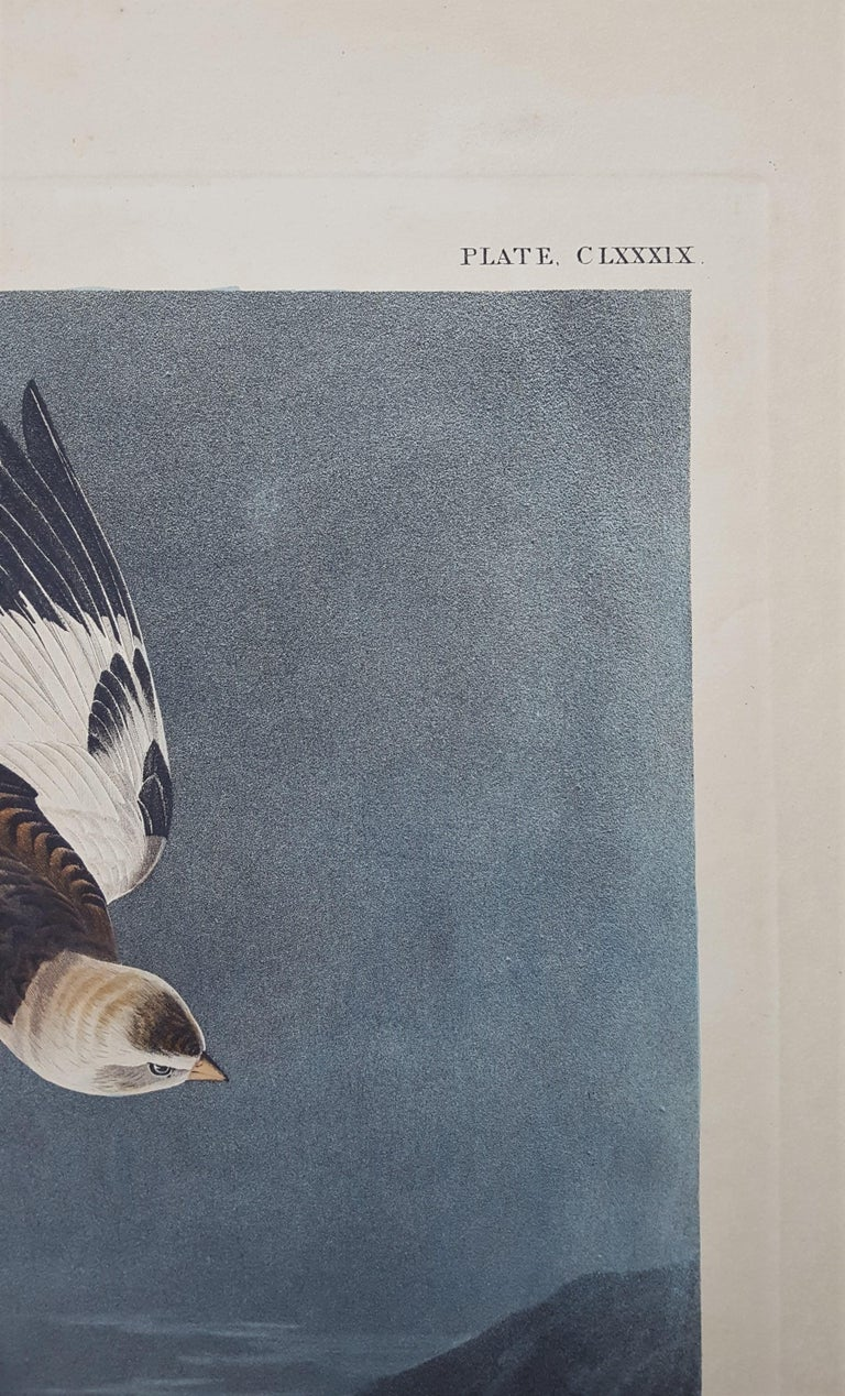 Snow Bunting For Sale 5