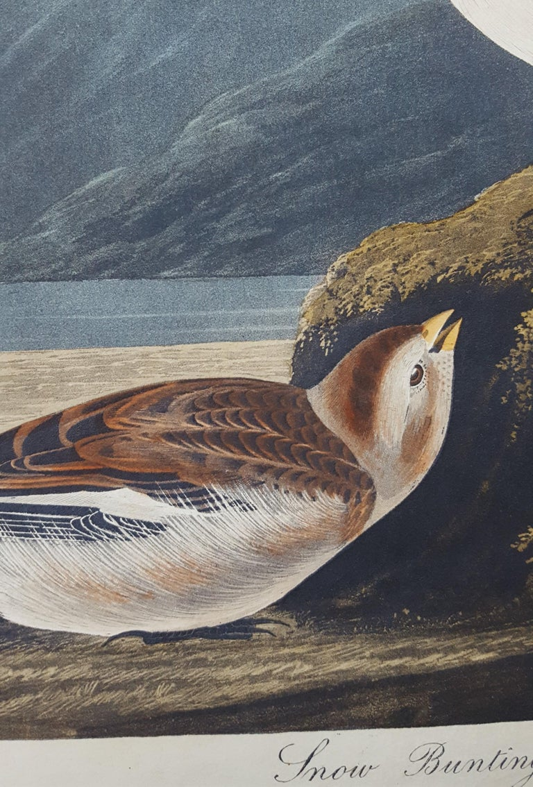 Snow Bunting For Sale 7