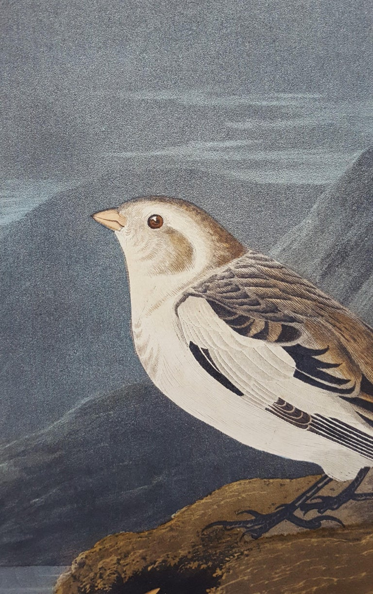Snow Bunting For Sale 8