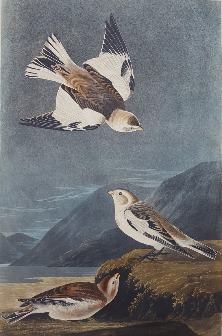 John James Audubon Animal Print - Snow Bunting
