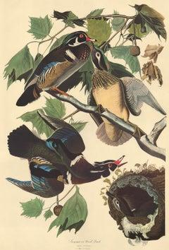 Summer or Wood Duck by John James Audubon, Amsterdam Edition