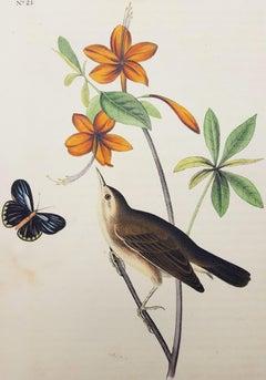 Swainson's Swamp Warbler (Orange Colored Azalea)